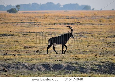 A Sable Antelope In Chobe National Park