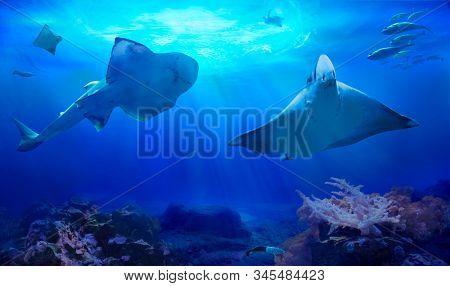 Ocean underwater with marine animals. Myliobatidae. Hunting sharks. Ecosystem. Life in tropical waters.