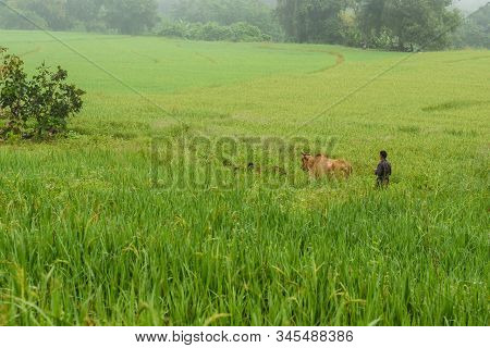 Mae Hong Son, Thailand-october 27 : Farmer And His Cows On Rice Fields In The Morning On October 27,