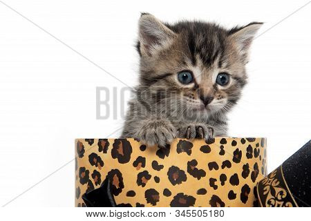 Cute Baby Tabby Kitten In A Box  Isolated On White Background