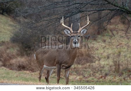 Whitetail Deer Buck In Winter