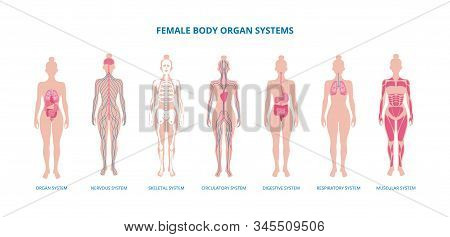 Female Body Biological Infographic Set Flat Vector Illustration Isolated.