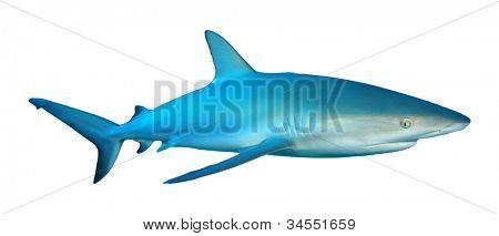 Caribbean Reef Shark isolated on white background poster