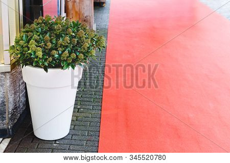 Skimmia Japonica Rubella Flower With Green Leaves, Berries In Big White Pot Near Building Entrance A
