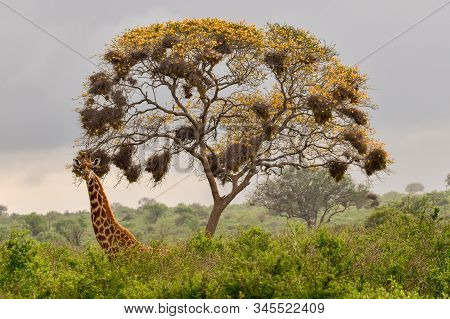Giraffes In The Tsavo East, Tsavo West And Amboseli National Park In Kenya