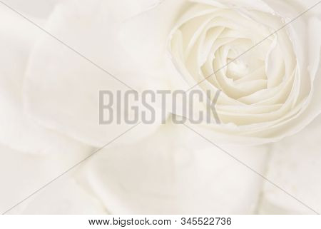 Botanical Concept, Wedding Invitation Card - Soft Focus, Abstract Floral Background, White Rose Flow