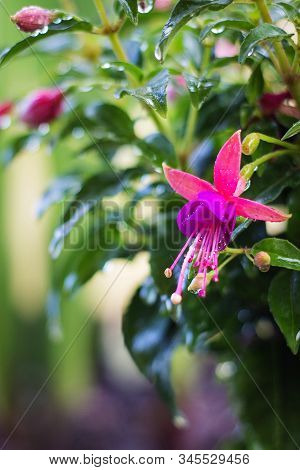 Image Of Beautiful Fuchsia Magellanica Flower, Hummingbird Fuchsia Or Hardy Fuchsia, Hanging Fuchsia