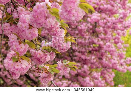 Cherry Blossom In The Park. Awesom Springtime Nature Scenery. Close Up Of Blooming Twigs Of Sakura T