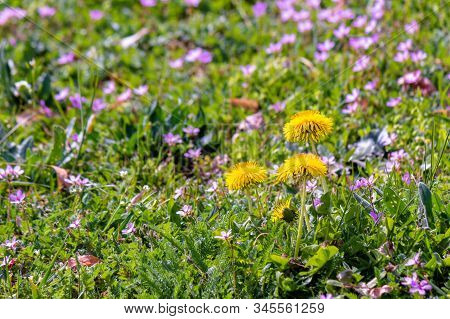 Yellow Dandelion Flowers In The Green Grass Among Purple Germander Speedwell. Common Flowering Weeds