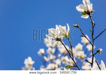 White Magnolia Blossom. Beautiful Nature Scenery In Spring. Twigs With Flowers On A Blue Sky Backgro