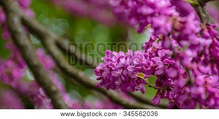 Judas Tree In Blossom. Purple Flowers On The Twigs. Beautiful Redbud Background.