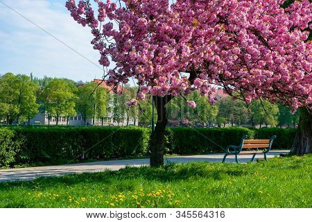 Bench Under The Cherry Blossom. Alley On The Embankment In Springtime. Beautiful Urban Scenery Of Uz