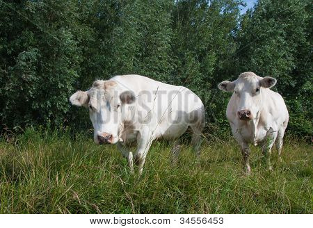 Two Standing White Cows Looking Searchingly