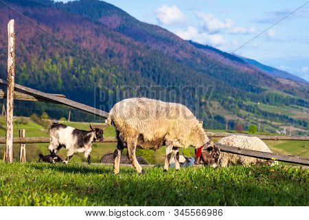 Herd Of Goats On The Alpine Meadow In Spring. Beautiful Rural Scenery In Evening Light. Mountain Rid