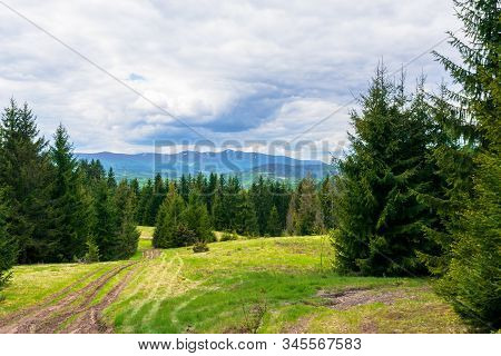 Forested Hills Of Carpathians In Spring. Spruce Trees On The Grass Covered Meadow. Borzhava Mountain