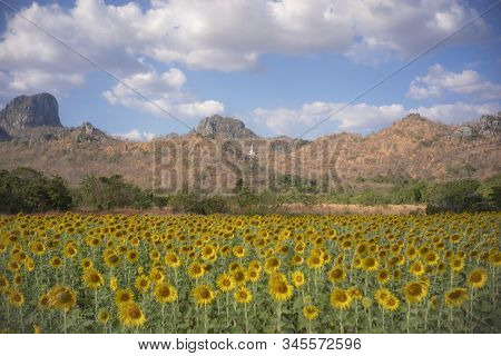 Sunflower Field In Lopburi Province Of Thailand