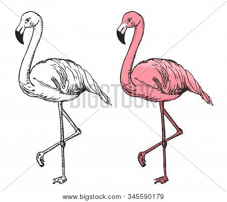 Flamingo Sketch Vector Illustration. Black And White And Color Sketch Flamingo, Exotic Bird.