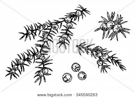 Juniper Vector Drawing. Isolated Vintage Illustration Of Berry On Branch. Berries And Leaves Of Juni
