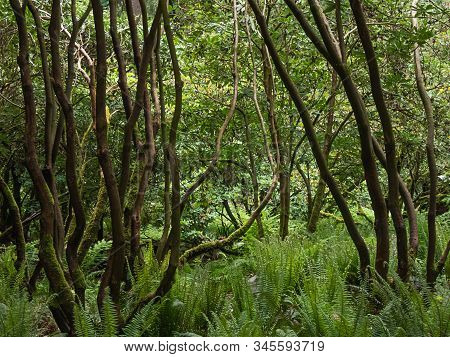 Bendy Rhododendron Trunks Of Massive Bushes In Garden