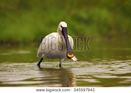 Eurasian Spoonbill Or Common Spoonbill (platalea Leucorodia) With A Fish In Its Beak. A Large White