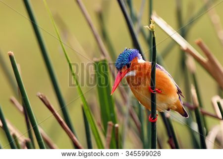 Malachite Kingfisher (corythornis Cristatus) Sitting On A Reed With Green Background By The River Ni