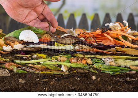 Male Hand Carefully Releasing Earthworms (lumbricus Terrestris) On A Compost Heap To Increase Compos