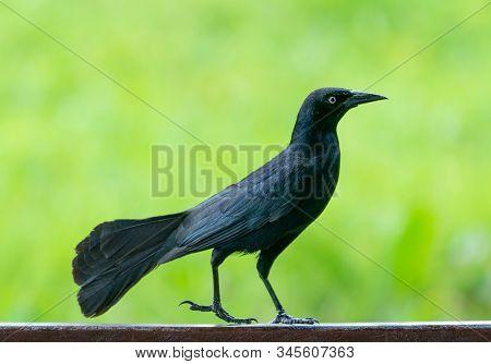 Carib Grackle Or Greater Antillean Blackbird On Green