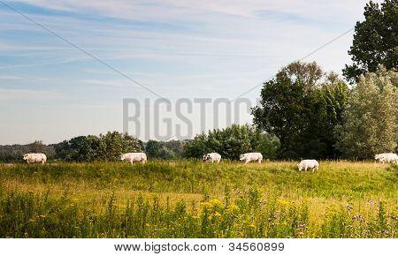 White Cows Walking On A Dutch Dike
