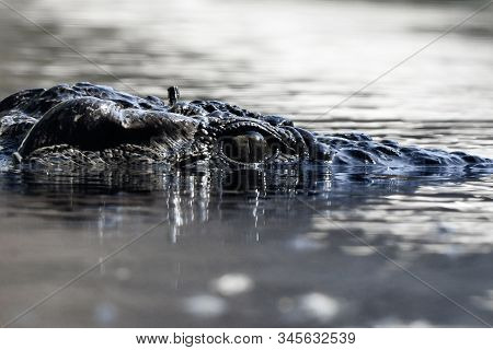 Nile Crocodile Eye Close Up (crocodylus Niloticus) Is A Large Crocodilian Native To Freshwater Habit