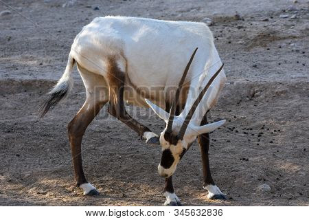 An Arabian Oryx (oryx Leucoryx)  Critically Endangered Resident Of The Arabian Gulf Stands In The Ho