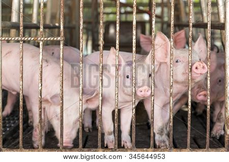 Sad Pig In Cage At Farm In Agriculture.