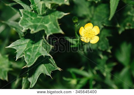 Ranunculus Arvensis, Corn Ranunculus, The Devil On All Sides Or A Scratch, Is A Species Of Plants Of