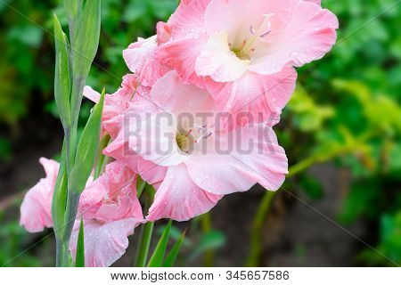 Blossoming Vivid Huge Soft Cute Pink Gladiolus Flowers Close Up In Vertical Format. Blooming Gladiol