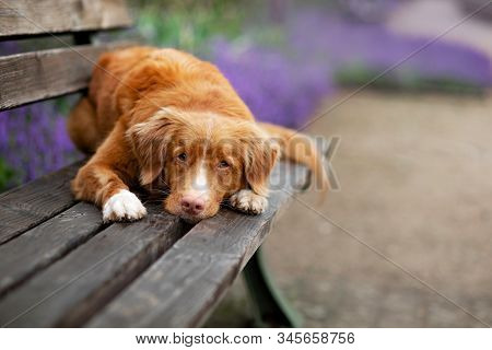 The Red Dog Lies On A Park Bench. Pet On Nature Against The Background Of Lavender. Nova Scotia Duck