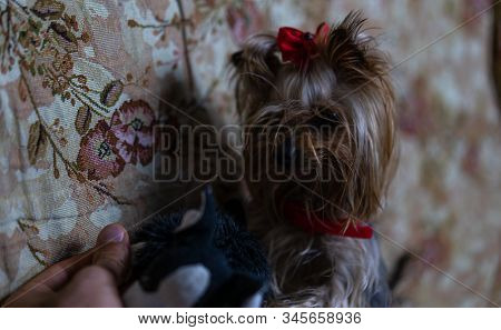 Yorkshire Terrier Looks At His Toy.yorkshire Terrier Looks At His Toy