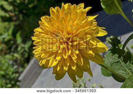 Bloom Of Dwarf Sunflower Plant Or Helianthus Dwarf In Manastery Garden, Village Zhelyava, Bulgaria