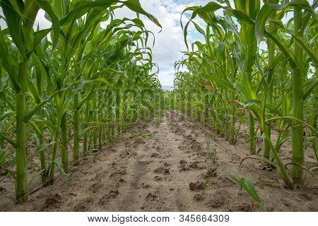 Path Through A Corn Field Of Corn. High Lush Corns Growing On A Field.