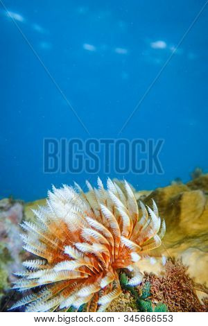 Hard And Soft Corals Undewater Of Anse A L'ane Beach, Martinique Island, Caribbean Sea, West Indies,