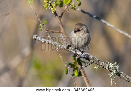 Watchful Female Bushtit With Pale Eyes Perched On Bush Branch Looking To Right For Danger.