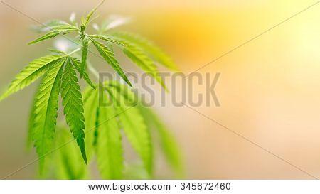 Marijuana Cannabis Concept. Medical Marijuana Cannabis Cbd Oil On Blurred Background. A Place For Co
