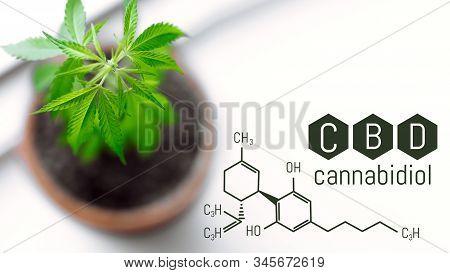 Cbd Chemical Formula, Space For Copy Space. Medical Marijuana Hemp For The Production Of Cbd Oil On