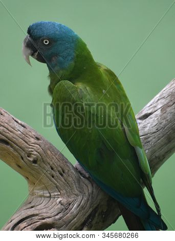 Gorgeous Bright Green And Blue Cuban Amazon Parrot On A Tree Perch.