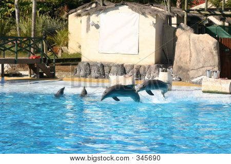 bottlenose dolphins leaping from the side of the pool back into the water poster