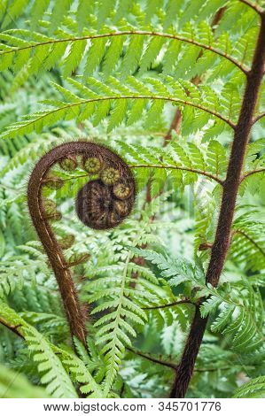 New Zealand Silver Fern Unfurling Frond With Blurred Background