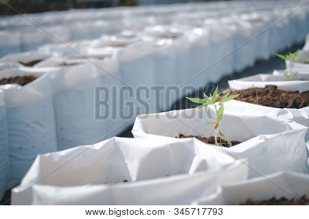 Growing Cannabis Marijuana Herb Plant In Outdoor Farm