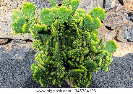 Prickly Pear Cactus (opuntia) In Jardin De Cactus By Cesar Manrique On Canary Island Lanzarote, Spai