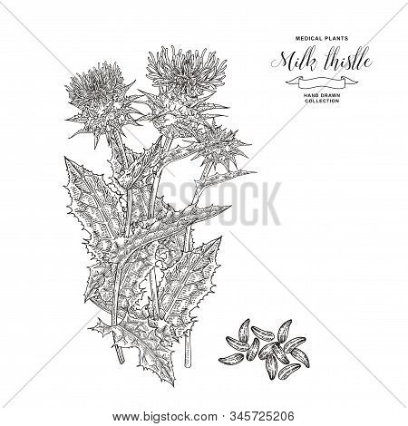 Thistle Milk Plant Hand Drawn. Thistle Flowers And Seeds Isolated On White Background. Medicinal Ger