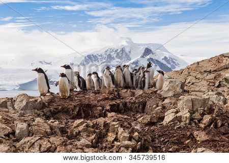 Group Of Chick Penguins On The Stone Nest On The Antarctica Background. Gentoo Baby, Argentine Islan