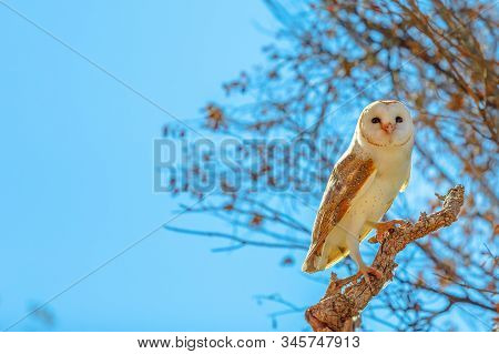 Side View Of Barn Owls, Tyto Alba, Nocturnal Bird On A Tree In Blue Sky. Desert Park At Alice Spring