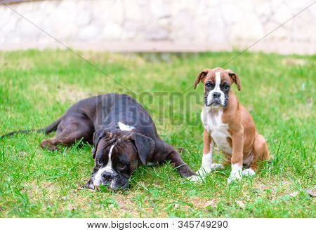 Two Cute Pets Purebred Boxer. Sweet Puppy Red Fawn Boxer Sitting And Big Dog Color Brindle Laying On